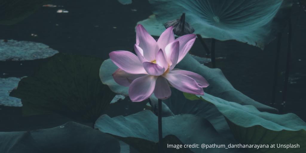 Lotus flower blooming against dark pond background